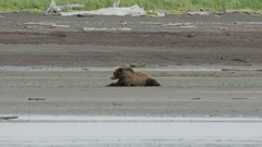 Grizzly Bear Lying on Stream Side Stock Footage