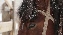 Horse brown face under snow - close-up Stock Footage