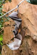 Fruit Bat Stock Photos