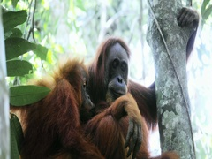 Close up face and eyes of wild Orangutan monkey in Sumatran protected forest Stock Footage