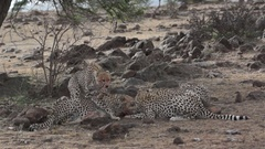 Cheetahs Eat Baby Wart Hog Stock Footage
