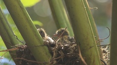 Baby Birds in Nest with Sibling Rivalry Stock Footage