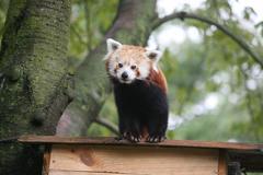 Red panda standing Stock Photos