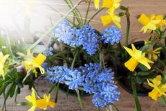 Sunny Spring Flowers, Narcissus And Grape Hyacinth Stock Photos