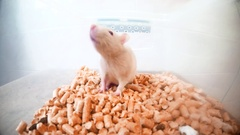 Lab Rat in Plastic Container Filled With Yellow Shavings Stock Footage