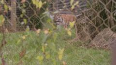 4K Tiger walking through enclosure at wildlife park. No people. Stock Footage