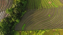 Rice fields of Bali island Stock Footage