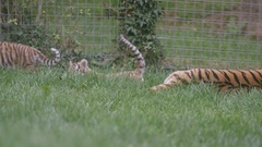 4K Tiger family at wildlife park, young cubs play fighting together. No people.  Stock Footage