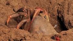 Great shot of Crab going down Burrow Stock Footage