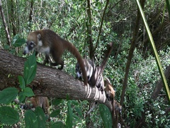 Wildlife Coati family In jungle trees climbing Mexico DCI 4K Stock Footage