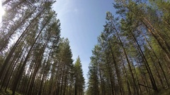 A pine forest. The drive through the pine forest. Stock Footage