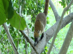 Wildlife Mexico Coati animal in jungle tree DCI 4K Stock Footage