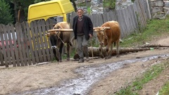 Georgians raises bulls with logs Stock Footage