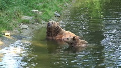 4k Two Brown Bears refreshing and scratching in water Stock Footage
