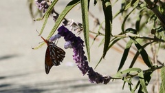 Nymphalidae Butterfly and purple sage flower Stock Footage