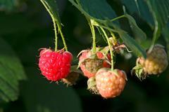 Berries of a raspberry Stock Photos