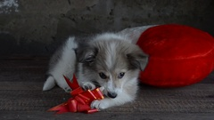 Little fluffy puppy laying next to a pillow in the shape of a heart. Eats treats Stock Footage