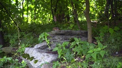 Chipmunk on stone at forest. Striped rodent of family squirrel. Wild animal Stock Footage