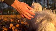 Man is playing with funny puppy. Cute bichon dog have fun. Closeup young man's Stock Footage