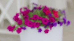 Violets in a pot. Colorful decorative flowers in white pot on the street. Stock Footage
