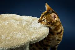 Bengalcat kitten brown spotted Stock Photos