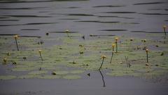 Water lily with green leaves on the lake Stock Footage