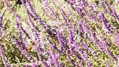 Magnificent hummingbird and purple sage flower Stock Footage
