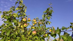 Maturing apples waving on branches with green leaves, mobile phone video. Stock Footage