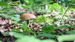 Birch bolete among old and new leaves and plants at sunny day close up. Stock Footage