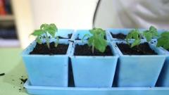 Transplanting tomato seedlings into individual pots Stock Footage