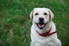 Dog breed Labrador Stock Photos