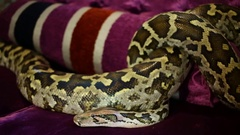 Spotty big snake crawling intertwist on claret sofa close-up. Stock Footage