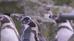 4K Portrait penguins grooming themselves at the zoo. No people.  Stock Footage