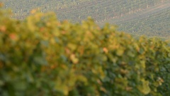 Vineyard near Velke Bilovice, Moravia, Czech Republic, EU, Europe. Stock Footage