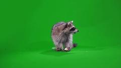 Funny raccoon eating an Apple Stock Footage