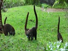 Mexico wildlife Coati mundi feeding grass field DCI 4K Stock Footage