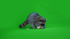 Funny raccoon Stock Footage