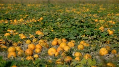 Pumpkins in the field Stock Footage
