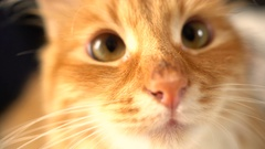 Closeup of funny Cat Face -with curious looking at cam Stock Footage
