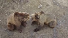 Two Bears Playing Kissing Eating Tangerine Zoo Ground Stock Footage