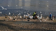 Waterfowl on the banks of the river Elbe Stock Footage