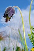 Eastern pasqueflower (Pulsatilla patens), Ukraine Stock Photos
