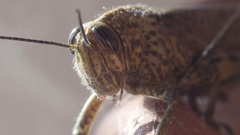 Grasshopper close up shot macro 4k Stock Footage