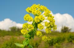 Urban spurge (Euphorbia agraria), Ukraine, Eastern Europe Stock Photos