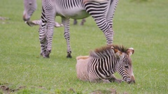 4K Zebra family at wildlife park, adult animals with young foal grazing on grass Stock Footage