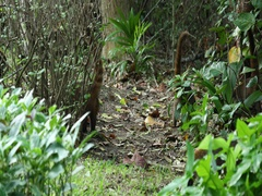 Coati mundi family group Mexico jungle DCI 4K Stock Footage