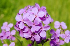 Wild flowers of Siberia. Lake Baikal, Siberia, Russian Federation. Stock Photos