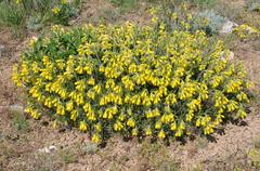 Golden-flowered Onosma (Onosma taurica) Crimea, Ukraine, Eastern Europe Stock Photos
