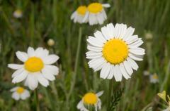 Pyrethrum (Pyretrum corymbosum) Crimea, Ukraine, Eastern Europe Stock Photos