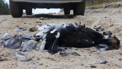 Black Grouse (male) hit by car on roadside Stock Footage